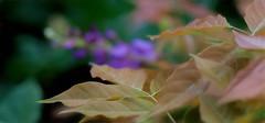 wisteria growth (tfhammar) Tags: wisteria spring summer garden tampa florida vine purple