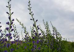 False Indigo (marylea) Tags: flowers blue gardens garden spring indigo negativespace fabaceae legume 2016 peafamily baptisia may28 baptisiaaustralis wildindigo falseindigo wildblueindigo falseblueindigo bluefalseindigo rattlepod rattlebush plainsbaptisia