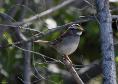 White-throated Sparrow, Monchy Woods Road (frank.king2014) Tags: ca canada whitethroatedsparrow gander newfoundlandandlabrador
