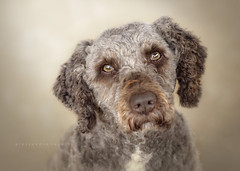 Neptuno (alessandrafavetto) Tags: dog pet color dogphotography petphotography dogportrait spanishwaterdog pdae petphotographer dogphotographer perrodeaguaespaol