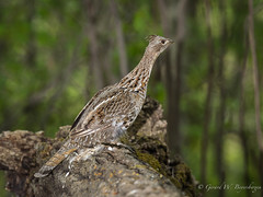 Ruffed Grouse (Turk Images) Tags: male birds spring alberta breeding ruffedgrouse phasianidae isletlake bonasaumbellus aspenparkland rugr drumminglog