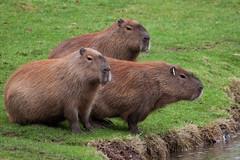 Capybara (Xesh_Photography) Tags: southamerica guinea pig rodent rat capybara