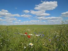Blumenwiese (conticium) Tags: juni wiese wolken blumen brandenburg mohn 2016 klatschmohn margeriten windenergie kornblumen windkraftanlagen