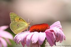 Orange Sulphur (Colias eurytheme) (Megan E. McCarty) Tags: butterfly insect bokeh lepidoptera orangesulphur pieridae
