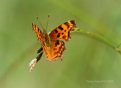 Oreas anglewing butterfly (polygonia oreas) (Nancy Asquith) Tags: butterfly anglewing oreas polygoniaoreas earthnaturelife oreasanglewing