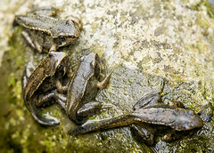 Froglets (branestawm2002) Tags: life uk nature water up pond stream close wildlife amphibian frog british tadpole metamorphosis froglet pondlife
