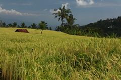 Rice paddies - Munduk (Timmok) Tags: rice paddies munduk