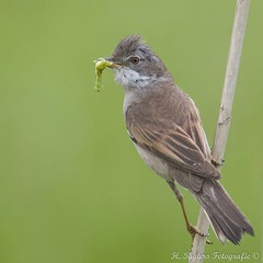 Grasmus - Whitethroat - Sylvia communis (H.Rigters) Tags: green bird nature animal nikon groen outdoor natuur caterpillar sylvia communis vogel whitethroat sylviacommunis grasmus nikon300mmf4 nikond600 hennyr