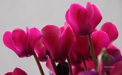 10-IMG_2575 (hemingwayfoto) Tags: alpenveilchen blhen blte blume botanik cyclamen cyclamumpersicum flickr flora garten macro natur panther pflanze pink zimmerpflanze