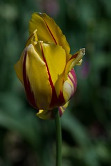 DSC_4015 (Copy) (pandjt) Tags: ca flowers canada bc britishcolumbia tulip abbotsford tulipfestival abbotsfordtulipfestival