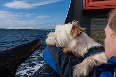 Sea dog (ghostwheel_in_shadow) Tags: ireland sea dog mammal coast europe unitedkingdom terrier coastal jackrussell northernireland ulster vertebrate antrim churchbay rathlinisland wiggo parsonrussell