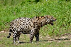 """Jaguar (Panthera onca) frustrated male in """"flehmen"""" attitude ... No mating for now !!! (berniedup) Tags: pantanal portojofre poconé jaguar pantheraonca taxonomy:binomial=pantheraonca flehmen riosãolourenço animal carnivore bigcat"""
