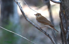 Grive fauve / veery (ricketdi) Tags: bird veery catharusfuscescens grive cantley nakkertok grivefauve