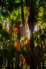 Cabbage Palms at Tiona (Wanda Amos@Old Bar) Tags: trees fanpalms wallislake livistona arecaceae livistonaaustralis bootibootinationalpark greencathedral cabbagepalms arfp vrfp nswrfp qrfp swamparf wetsclerophyllaf