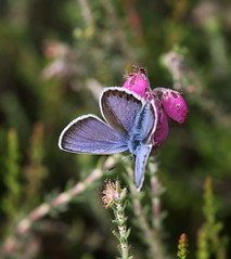 """Plebejus argus"" - heideblauwtje (bugman11) Tags: pink blue macro nature animal animals fauna canon butterfly bug insect flora bokeh nederland thenetherlands butterflies insects bugs erica 1001nights plebejusargus heideblauwtje 100mm28lmacro 1001nightsmagiccity"