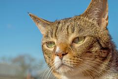 Tabby (newbiephoto92) Tags: uk pet cute closeup cat nikon cheshire tabby nantwich d3200