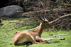 3-IMG_2174 (hemingwayfoto) Tags: berlin horntrger kafuelitschimoorantilope kobuslechekafuensis natur paarhufer sugetier zoo