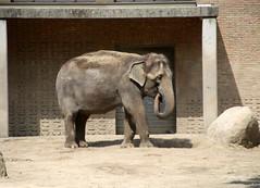 1-IMG_2170 (hemingwayfoto) Tags: afrikanisch berlin elefant natur sugetier zoo