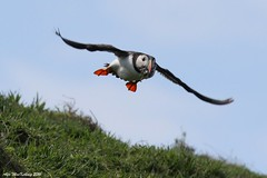 Isle of May Puffin (AMKs_Photos) Tags: sea bird nature birds animal canon island photography eos scotland may reserve forth 7d puffin isle ferries anstruther seabird firth amk arctica fratercula ferrys amksphotos