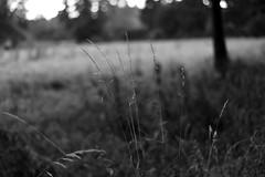 Summer grasses13 (Amselchen) Tags: bw season 50mm mono blackwhite nikon dof bokeh nikkor d610 afsnikkor50mmf18g nikond610