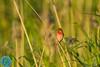 Common Rosefinch (Erythrina erythrina)
