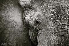 Big Love (JuttaMK) Tags: elephant kenya samburu 2016 savetheelephants mauekay