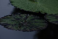 Longwood Gardens -27 (Webtraverser) Tags: gardens waterlily waterlilies longwoodgardens magichour sunsetting d7000