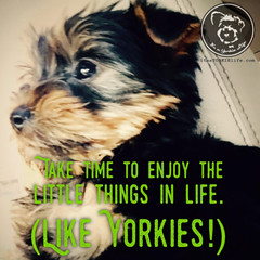 Always enjoy your Yorkie (itsayorkielife) Tags: yorkiememe yorkie yorkshireterrier quote
