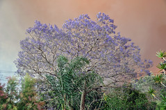 0007 Bushfire Smoke.jpg (Tom Bruen1) Tags: 2013 bushfire gardeniaparade greystanes jacarandatree smoke