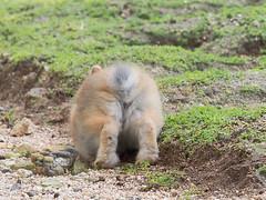 B6250716 (VANILLASKY0607) Tags: rabbit bunny bunnies nature animal japan photo wildlife wildanimal hydrangea rabbits rabbitisland wildrabbit okunoshima