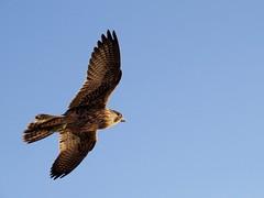 juvenile peregrine soaring-point vicente (gskipperii) Tags: bird nature animal losangeles outdoor wildlife raptor falcon hunter predator juvenile ornithology peregrine palosverdes pointvicente