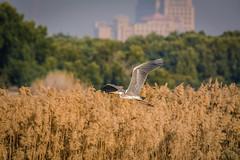 Flight (malc1702) Tags: greyheron heron birds large migration migratorybirds nature outdoor wildlife animals nikond7100 tamron150600 beauty grace flight birdinflight