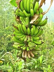 Musa spec 3 (heinvanwinkel) Tags: bali juli 2010 musaceae banaan liliopsida magnoliophyta zingiberales spermatophyta tracheophyta commelinids euphyllophyta mesangiospermae musaspec bloemvandedag petrosaviidae