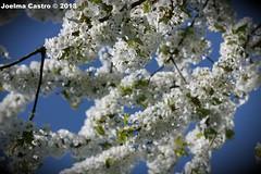 Bunsbeek - Belgium (Joelma Castro) Tags: flowers flores primavera azul belgium jardim tuin lente quintal belgica brabant vlaams bunsbeek