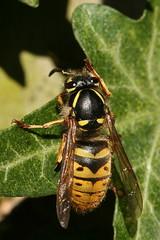 Queen Common Wasp (former-extog) Tags: queen bryncethin wfc bridgend commonwasp 2013 penybontarogwr unature welshflickrcymru bbcwalesnature bymikemccarthy canonef100mmf28lmacroisusm vespulaparavespulavulgaris ©mikemccarthy