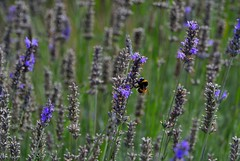 A bee never rests (Aspenz13) Tags: flowers purple flight lavender bee pollinate