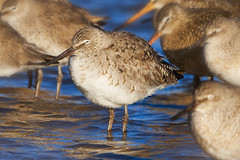 SLEEPY  WILLETS (Aspenbreeze) Tags: lake bird water wildlife feathers waterbirds beaks shorebird willet wildbird aspenbreeze moonandbackphotography bevzuerlein