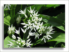 Allium ursinum ( Annieta  Off / On) Tags: white flower holland nature netherlands fleur canon garden flora nederland jardin natuur powershot mei tuin wit allrightsreserved bloem alliumursinum krimpenerwaard daslook supershot 2013 annieta citrit firoe usingthisphotowithoutpermissionisillegal mygearandme blinkagain sx30is sunrays5