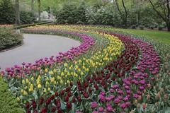 Around the bend (rastAsia) Tags: netherlands fleur colors spring tulips summertime lente springtime keukenhof colorexplosion kleur lisse voorhout bloomen bollensteek