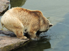Brown Bear (MarkusR.) Tags: bear animal germany zoo stuttgart predator botanicalgarden tier br braunbr brownbear wilhelma ursusarctos badenwrttemberg badenwuerttemberg zoologicalgarden 2013 raubtier markusrieder mrieder 20130502np5021