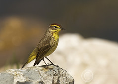 Palm Warbler Portrait (maryanne.pfitz) Tags: bird nature wisconsin photo wildlife wi warbler songbird highcliff woodwarbler palmwarbler highcliffstatepark calumetcounty rocksstream setophagapalmarum maryannepfitzinger map55132694