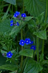 Green Alkanet (Jim Glan Dwr) Tags: uk flower wales spring bloom llanberis ynysmon anglesey jimclark boraginaceae pentaglottissempervirens greenalkernet