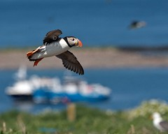 Puffin (Grand-Poobar) Tags: travel sea summer food color cute bird nature water beautiful beauty animal wales pembroke island scotland iceland sand marine funny colorful feeding wildlife beak adorable puffin rest lovely eel birdwatching seabird skomer