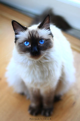 Chilli 1 (SuperNiima) Tags: pet cute cat blueeyes ragdoll