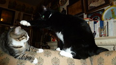 Bigfoot Being Put In His Place By Creepers' Big Foot (A.Currell) Tags: cats by cat foot big place being tuxedo his bigfoot creepers put in