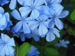 Plumbago (maryateresa2001) Tags: flowers mtd azul fiori azzurro sanremo  maryateresa lovelyflickr piombaggineplumbagoauriculata