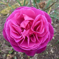 The purple rose of winter? (Sandy Austin) Tags: flowers newzealand nature rose purple auckland northisland hernebay sandyaustin hernebaypetanqueclub panasoniclumixdmcfz40