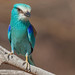 Abyssinian Roller in R�serve de Bandia - S�n�gal