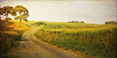 Campos de maiz. (Marina Is) Tags: corn maiz choclo creativemindsphotography mygearandme mygearandmepremium mygearandmebronze mygearandmesilver mygearandmegold mygearandmeplatinum mygearandmediamond