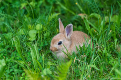 Baby Bunny (a3aanw) Tags: cute bunny animal animals nikon konijn young d800 schattig amsterdamsewaterleidingduinen nikond800 nikonafsnikkor300mmf4difed amsterdamwatersupplydunes nikonafsnikkor300mmf4ifed